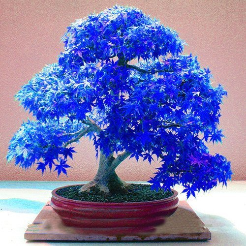20pcs Purple blue Ghost Japanese Maple Tree, (Acer Palatum),bonsai flower seeds,tree seeds,potted plant for home & garden by - Blue Bonsai