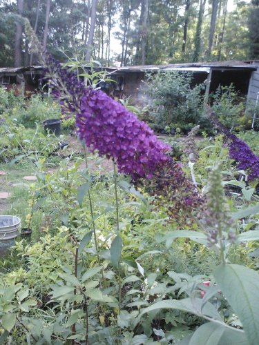 (1 gallon) Guinevere Butterfly Bush , Dark Black Purple Purple Fragrant Flowers, a Beauty, (Hydrangeas Shrub, Evergreens, Gardenia (Hydrangea Butterfly)