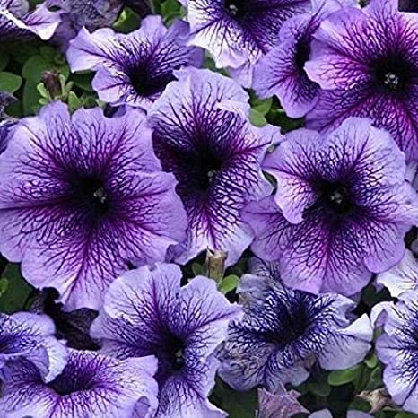 Seekay Petunia Express Azul de la Vena - 50 Bolitas Semillas