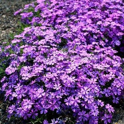 Classy Groundcovers - Phlox 'Purple Beauty' Creeping Phlox, Moss Phlox {25 Pots - 3 1/2 in.} by Classy Groundcovers (Image #8)
