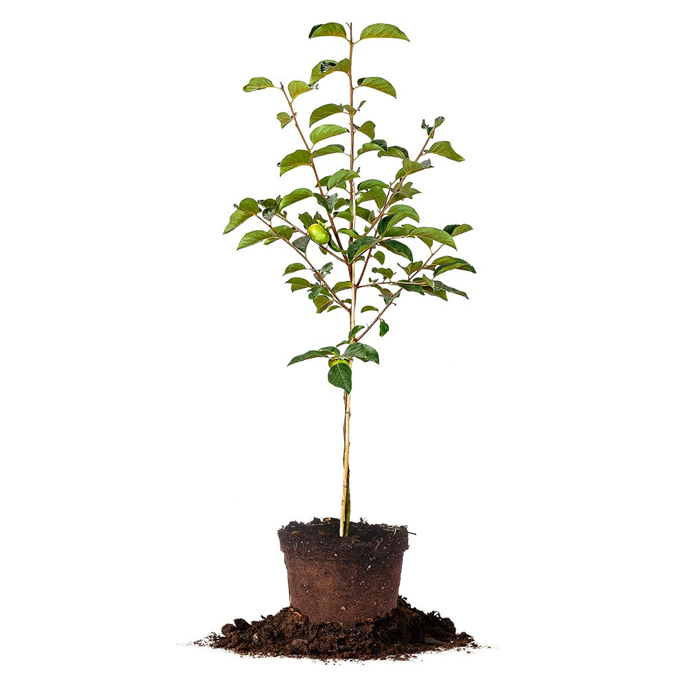 FUYU ASIAN PERSIMMON - Size: 5-6 ft, live plant, includes special blend fertilizer & planting guide