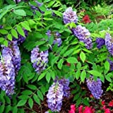 AMETHYST FALLS WISTERIA VINE - NATIVE, NOT AGGRESSIVE- REPEAT BLOOMER - ATTRACT HUMMINGBIRDS- FRAGRANT 8 INCH LILAC BLOOMS 2 - YEAR PLANT