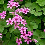 HUANGRU Oxalis Braziliensis, Bright Pink Shamrocks - 15 Bulbs 4+ cm
