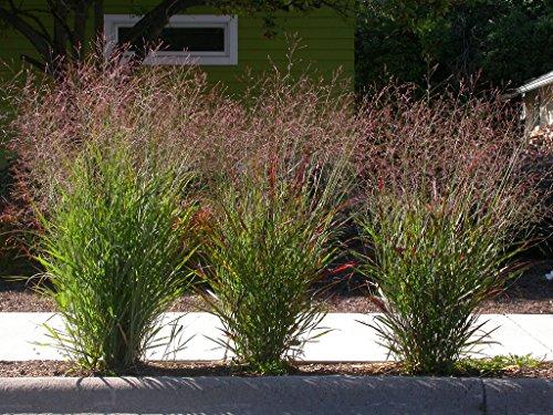 1000 SWITCHGRASS Tall Panic Switch Grass Panicum Virgatum Red Flower Seeds ()