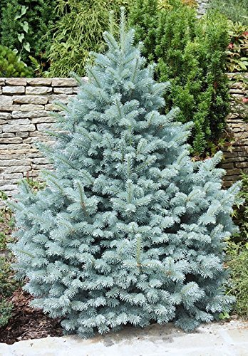 Majestic Blue Colorado Blue Spruce- A Super Blue Selection - 2 Year Live Plant Live Christmas Trees