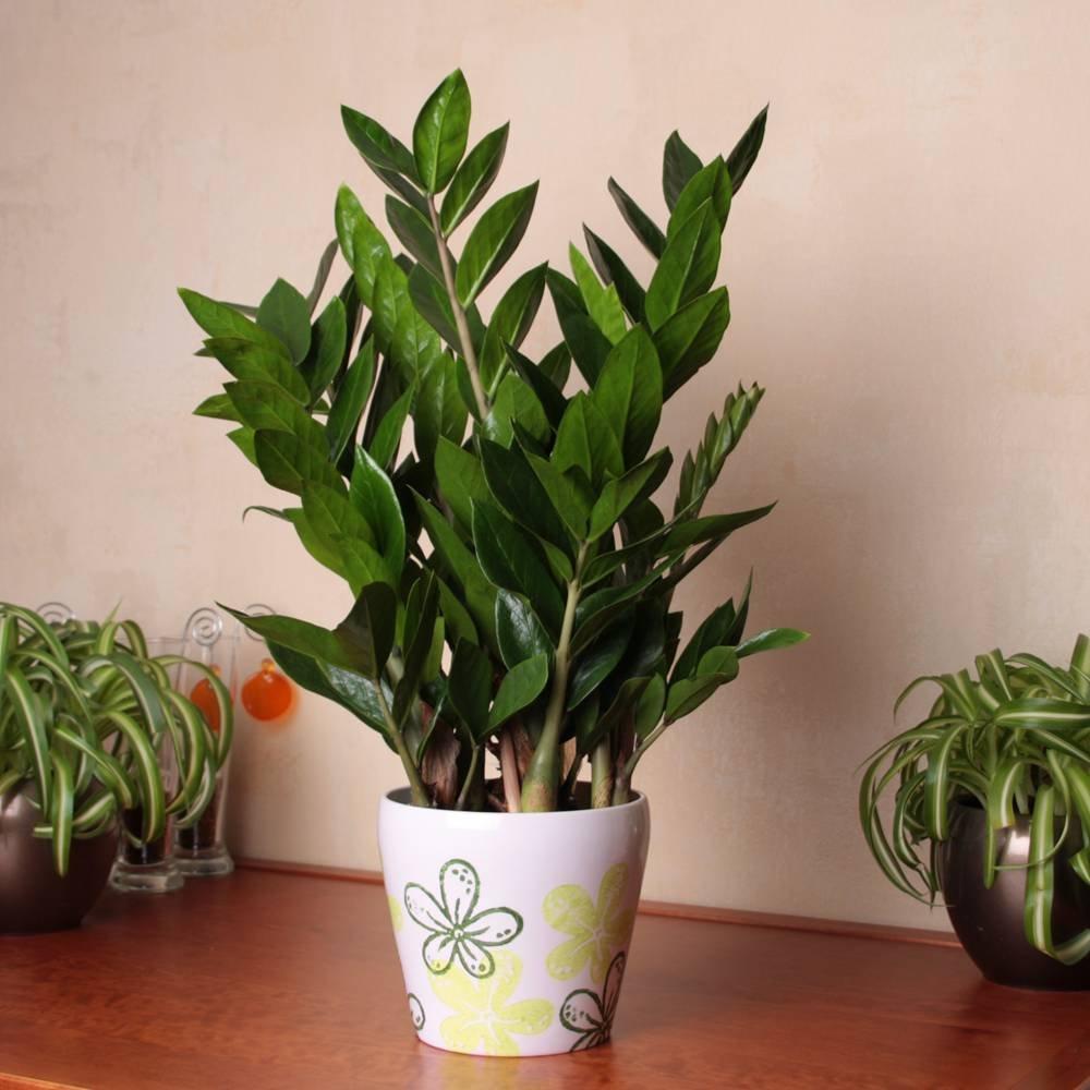 Zamioculcas zamiifolia Pot de 14cm - 1 plante Jardinpourvous