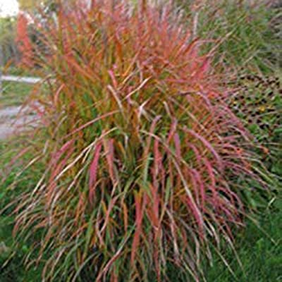 airrais Home Garden Balcony Miscanthus Sinensis Purpurascens Grass Seeds Grasses : Garden & Outdoor