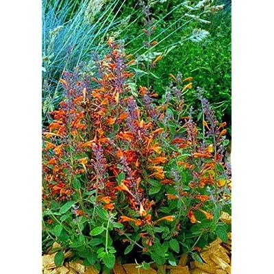 Fragrant Tango Hummingbird Mint Perennial - Agastache - Live Plant - Gallon Pot by AchmadAnam : Garden & Outdoor