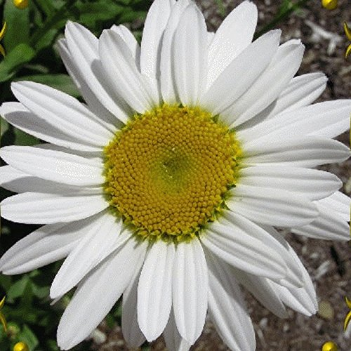 New 2000 Silver Princess Shasta Daisy Wildflower