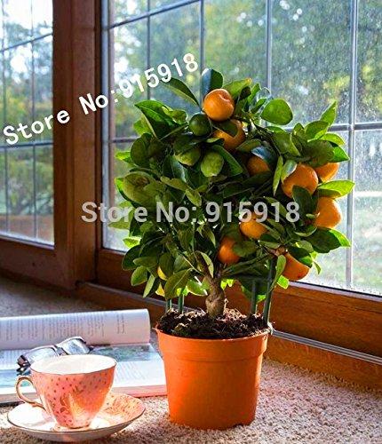 20pcs-edible-fruit-mandarin-bonsai-tree-seeds-citrus-bonsai-mandarin-orange-seeds