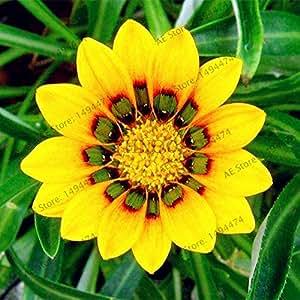 100pcs / bag color mezclado Gazania rigens semillas, semillas de flores para el hogar y el jardín, planta de los bonsai para plantaciones al aire libre de interior 6