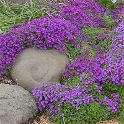 Solution Seeds Farm Rare Hierloom Purple Aubrieta Flower, 250 Seeds, attracting bees butterflies light up your garden