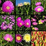 50Pcs/Bag Carpobrotus Edulis Seed Meat Chrysanthemum Seed Fabulous Potted Flowering Plant Mini-Bonsai