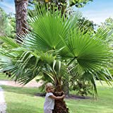 Washingtonia Hardy Cotton Palms (2 pieces)