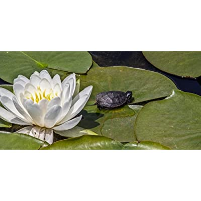 Gifts Delight Laminated 49x24 inches Poster: Lotus Flower White Lily Pad Turtle Pond Reptile Water Lotus Flower Bloom Plant Nature Lily Garden Natural Petal Aquatic Flora Green Lake Leaf Botanical: Home & Kitchen