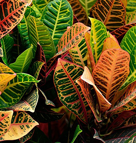 AMPLEX Petra Croton Live Plant, 1 Gallon, Indoor/Outdoor by AMPLEX (Image #2)