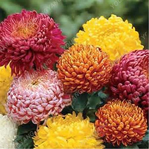 100 PC / paquete Aster Aster Semillas Semillas Semillas de flor de Bonsai crisantemo del arco iris semillas de las flores perennes Inicio Jardín de plantas de crisantemo: Amazon.es: Jardín