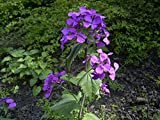 Lunaria annua - Honesty - 50 Seeds
