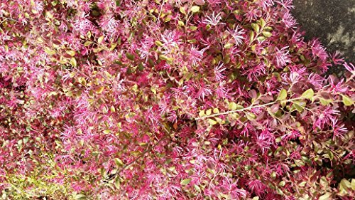 (3 Gallon) Daruma LOROPETALUM-Dwarf, Compact Shrub with Gorgeous Burgandy Foliage