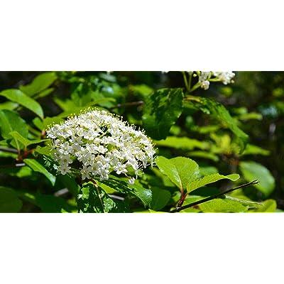 Blackhaw Viburnum (Viburnum prunifolium) : Garden & Outdoor