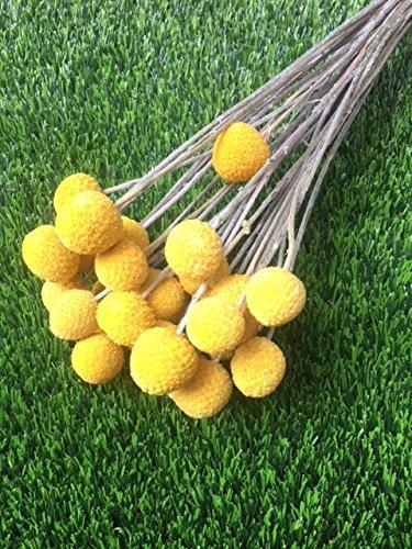 BD Crafts CRASPEDIA/Billy Balls. Dried Bundle of 24 Stems Grown in ()