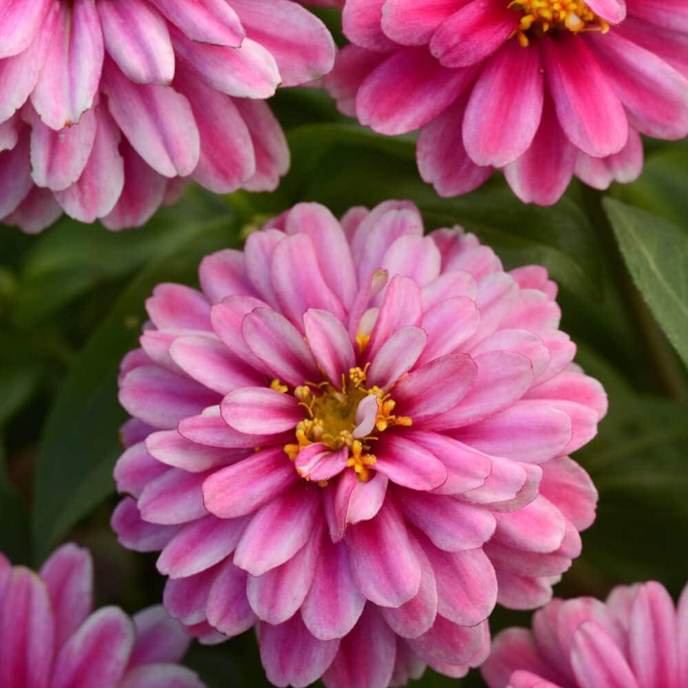 Outsidepride Zinnia Zahara Double Raspberry Ripple Flower Seeds - 50 Seeds
