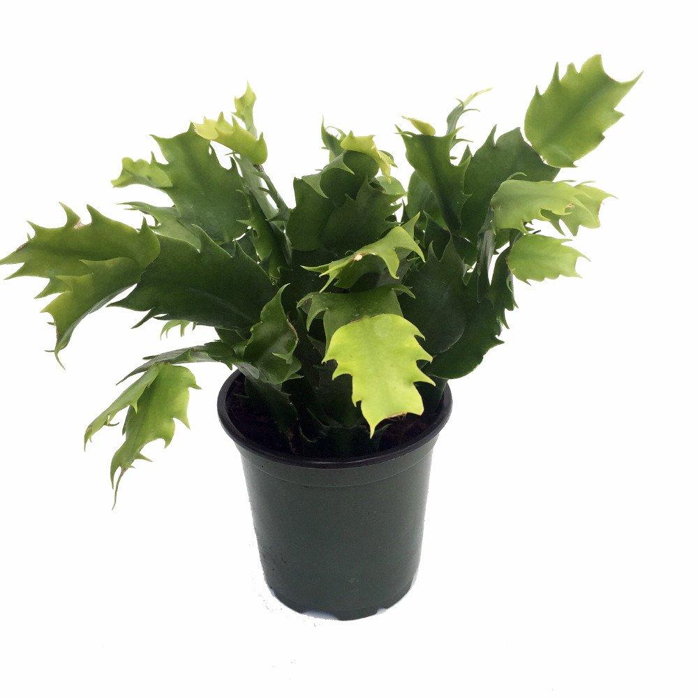 Red Christmas Cactus Plant - Zygocactus - 4'' pot