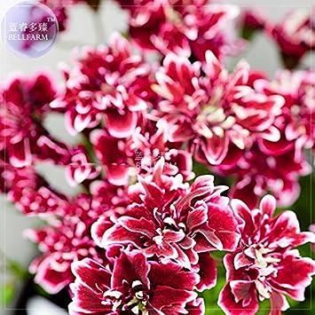 Amazon bellfarm geranium quantoki may angel dark red double bellfarm geranium quantoki may angel dark red double petals white edge flower seeds mightylinksfo
