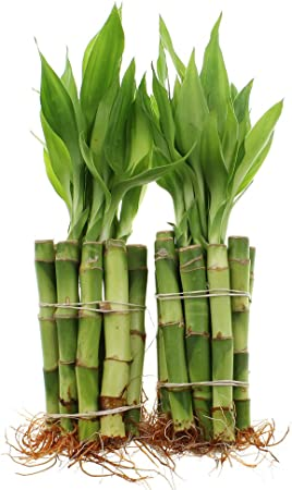 Amazon Com Live Lucky Bamboo 4 Inch Bundle Of 20 Stalks Live