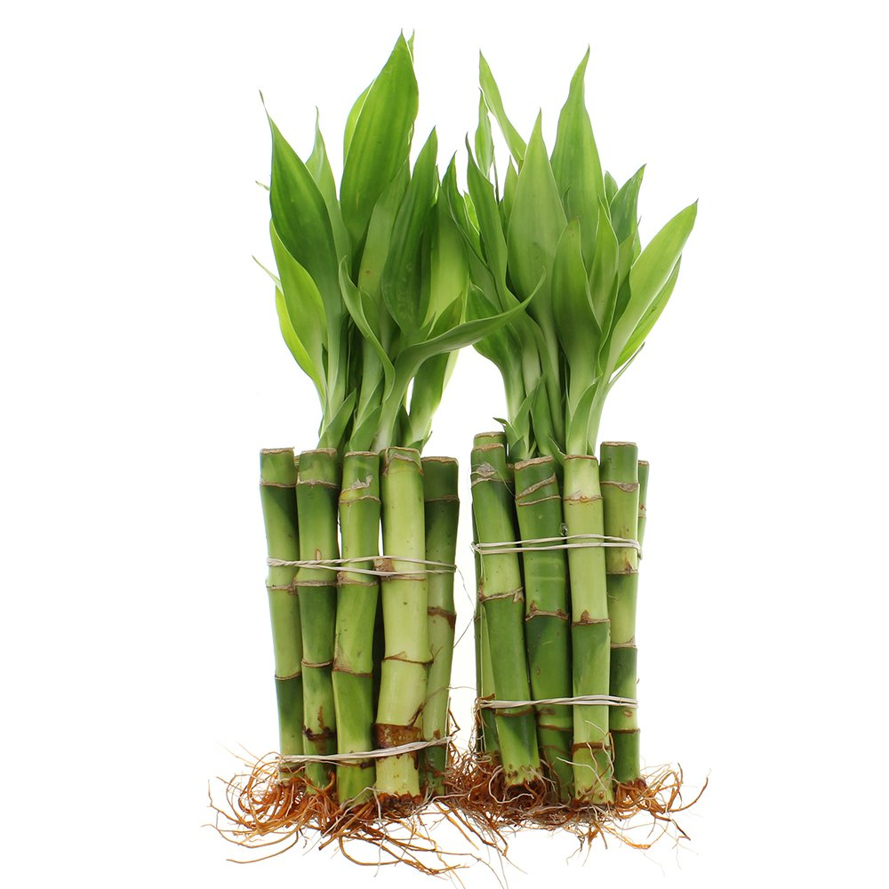 Live Lucky Bamboo 4-Inch Bundle of 20 Stalks - Live Indoor Plants for Home Decor, Arts & Crafts, and Feng Shui by NW Wholesaler