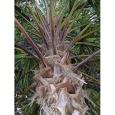 Livistona benthamii Fan Palm Tree (3) Seedlings Rare Live Tropical : Garden & Outdoor