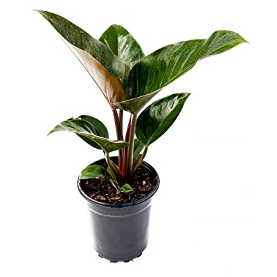PlantVine Philodendron 'Rojo Congo', Red Congo Philodendron - Extra Large - 12-14 Inch Pot (7 Gallon), Live Indoor Plant : Garden & Outdoor