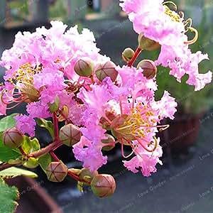 100 Pcs/Bag Crape Myrtle Lagerstroemia Indica 'Natchez' Perennial Flower Seeds Courtyard Myrtle Flowers Home Garden Plant Pot