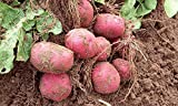 Simply Seed - 5 LB - Red Pontiac Potato Seed - Non GMO - Organic Grown - Order Now for Spring Planting