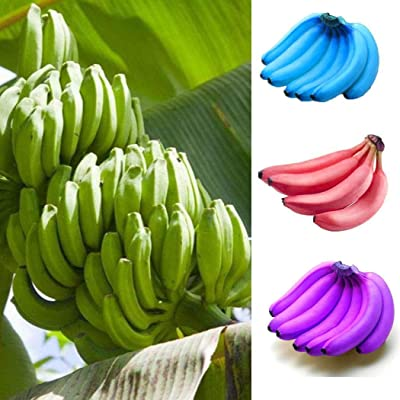 Almost Seeds- 100pcs Bio Banana Tree Seeds Bio Musa Tropicana Banana Fruit Seed Perennial winterhardy Exotic Fruit Plants for Patio, Balcony, Balcony : Garden & Outdoor