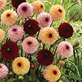 Jill Mixture Dahlia - 3 Clumps - Charming Ball-Shaped Pompon Flowers