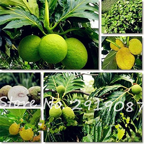 Rare Tree Seeds 6PCS Fruit Jackfruit Tree Fruit Seeds Fruit Seeds Is Rich In So Many Vitamins And Minerals