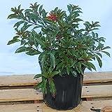 Hamelia patens, Firebush, Hummingbird Bush - 1 Gallon Live Plant - 4 pack