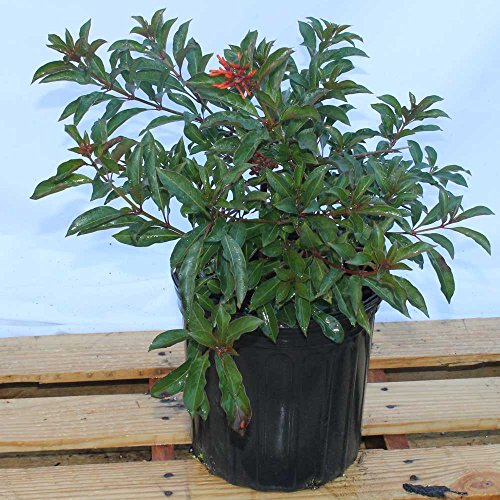 Hamelia patens, Firebush, Hummingbird Bush - 1 Gallon Live Plant - 4 pack by PlantVine