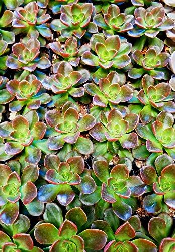 Fat Plants San Diego Mini Rosette Succulent Plants in Growers Pots by Fat Plants San Diego (Image #5)