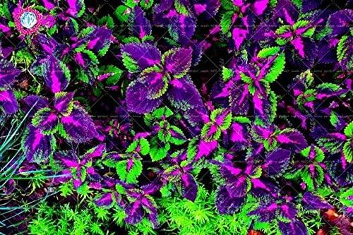 Amazon Com 100pcs Purple Coleus Seeds Colorful Leaves Beautiful