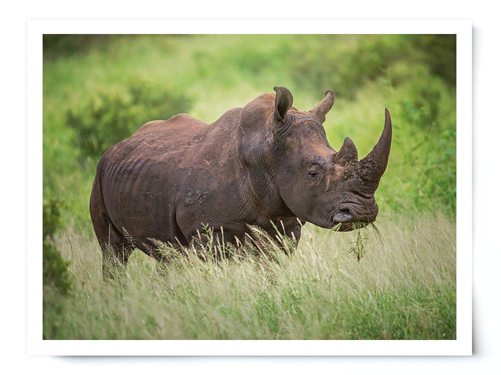 White Rhino - Wildlife Photograph Animal Picture Home Decor Wall Nature Print - Variety of Sizes Available