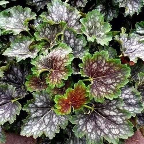 (Heuchera Marvelous Marble Coral Bells red Green 2.5