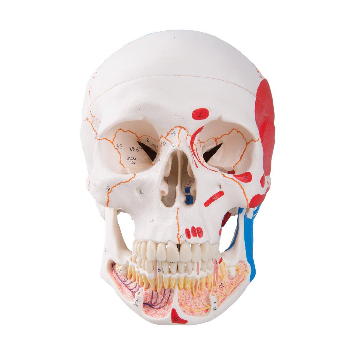【年間ランキング6年連続受賞】 頭蓋,下顎開放筋色表示,3分解モデル   B001DYQCT0, ユニオンスポーツ:ef5af7d7 --- a0267596.xsph.ru