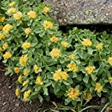 West Seed Farm 10 Rhodiola Rosea Seeds (Golden Root) aka Rose Root - Rare Medicinal Herb