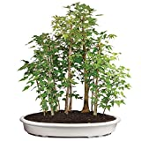 Brussel's Live Trident Maple Grove Outdoor Bonsai Tree - 10 Years Old; 20'' to 28'' Tall with Decorative Container