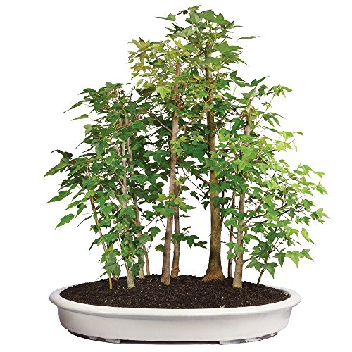 Brussel's Live Trident Maple Grove Outdoor Bonsai Tree - 10 Years Old; 20'' to 28'' Tall with Decorative Container by Brussel's Bonsai (Image #5)