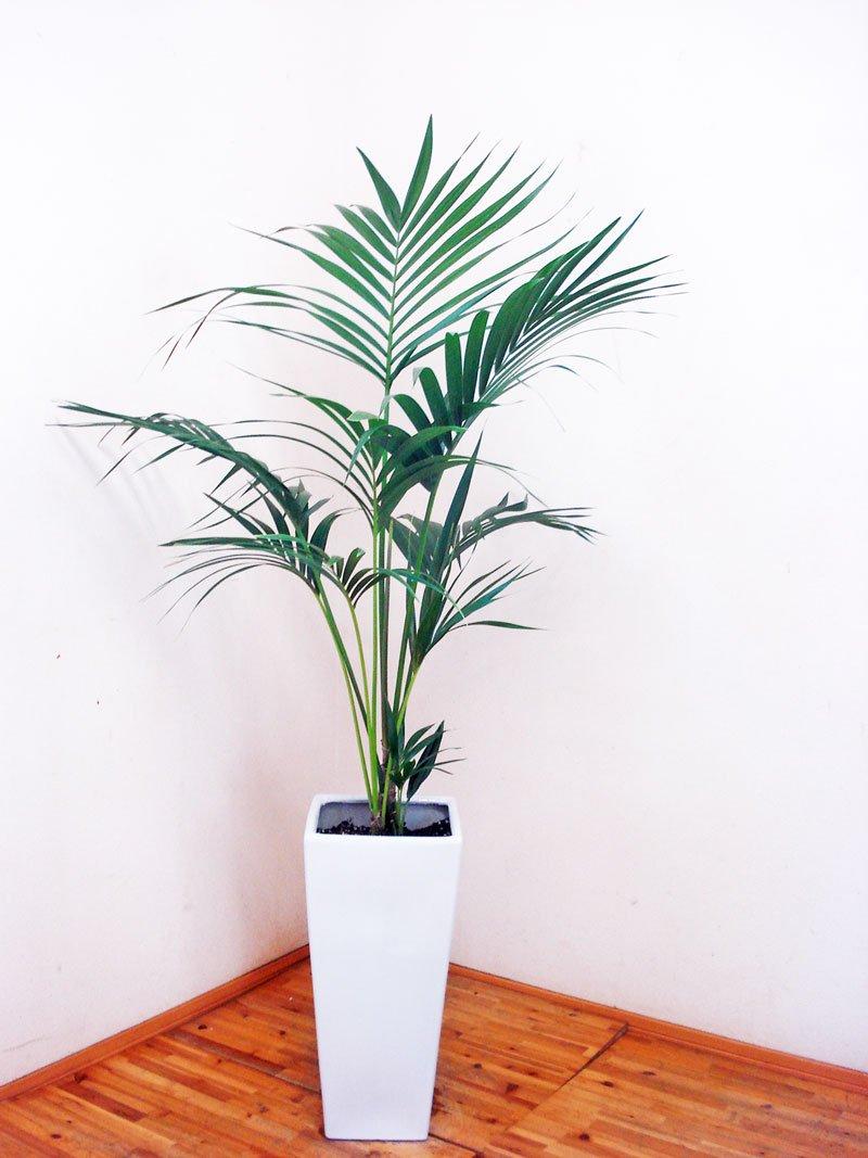 ロングスクエア陶器鉢仕立ての綺麗なケンチャヤシ/140cm前後(9号) B00TDMRRXY