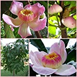 5 SEED Gustavia augusta VERY RARE PLANT HEAVEN LOTUS FLOWER BEAUTY