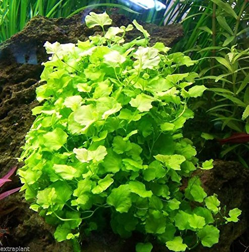 3x Cardamine Lyrata Japan   Live Aquarium Plants Dwarf Pennywort Java Moss -